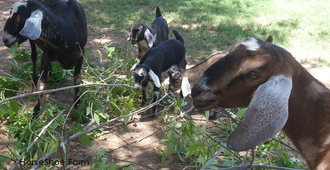 baby goats eating trees