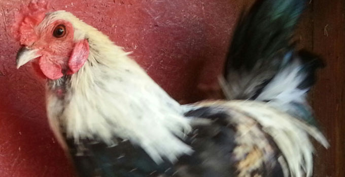 Rocco | Adoptable Bantam Ameraucana Rooster
